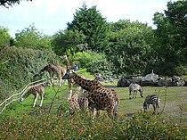 Giraffes at the Belfast zoo.jpg