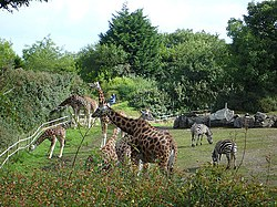 Giraffes at the Belfast zoo.jpg