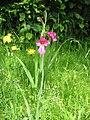 Gladiolus byzantinus03.jpg