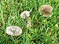 Gliophorus irrigatus 131013w.JPG