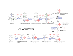 talk glycolysis   wikipediaglycolysiscompletelabelled png