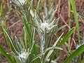 Gnaphalium sylvaticum2010 07 25a.jpg