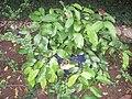 Gnetum luofuense - Hong Kong Botanical Garden - IMG 9617.JPG