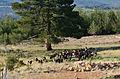 Goats Flock, Karaisalı 02.JPG