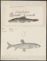 Gobio fluviatilis - - Print - Iconographia Zoologica - Special Collections University of Amsterdam - UBA01 IZ15000108.tif