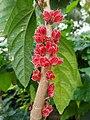 Goethea strictiflora.jpg
