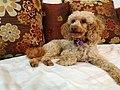 Gold Poodle.jpg