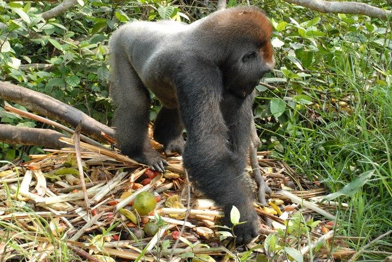 Gorilla gorilla08