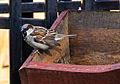 Gorrión común (Passer domesticus), Jurata, Península de Hel, Polonia, 2013-05-24, DD 01.jpg