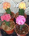 Grafted cactus.jpg