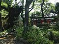 Grand camphor tree, Tosento Towers and Meoto-ishi Stones of Hakozaki Shrine.JPG