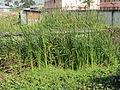 Grass VEZAM.JPG