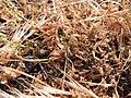 Grasshopper nymph (Chorthippus brunneus?), Sandy, Bedfordshire (9100404423).jpg
