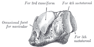 Cuboid bone bone of the ankle