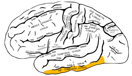 inferior temporal gyrus