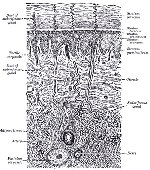Skin - A diagrammatic sectional view of the skin (click on image to magnify). (Dermis labeled at center right.)