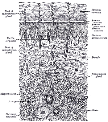 Human Physiologyintegumentary System Wikibooks Open Books For An