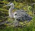 Great Blue Heron at Lake Woodruff National Wildlife Refuge - Andrea Westmoreland (3).jpg