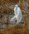 Great Egret at Lake Woodruff - Flickr - Andrea Westmoreland (1).jpg