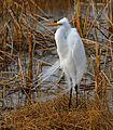Great Egret at Lake Woodruff - Flickr - Andrea Westmoreland (1).jpg