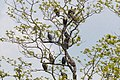 Great Indian Vultures Resting on a Tree (39925872340).jpg