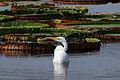 Great egret (Ardea alba) breeding.JPG