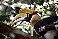 Great hornbills - pride of Nagaland.jpg