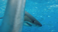 Great white shark at Isla Guadalupe. Shark cage diving with the MV Horizon. Animal estimated at 16-18 feet in length, age unknown.png