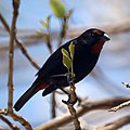 Greater Antillean Bullfinch (4450395711).jpg