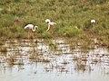 Greater Flamingo Phoenicopterus roseus in Tanzania 4030 Nevit.jpg