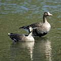 Greater White-fronted Goose (5049045733).jpg
