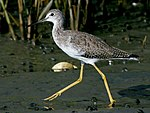 Greater Yellowlegs (Tringa melanoleuca) RWD2.jpg