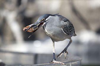 Green-backed heron, L'Oceanogràfic (1).jpg