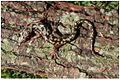 Green Salamander Aneides aeneus 1a.jpg