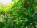 Green leaves in srilanka botanical garden.jpg