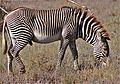 Grevy's Zebra (Equus grevyi) (7667401954).jpg