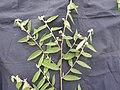 Grewia hirsuta-2-muluvi-yercaud-salem-India.jpg