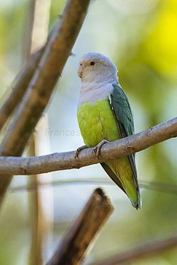 Grey-headed Lovebird - Ankarafantsika - Madagascar S4E9483 (15111184907).jpg