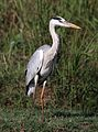 Grey Heron, Ardea cinerea, at Pilanesberg National Park, Northwest Province, South Africa (28536981266).jpg