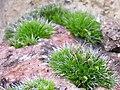 Grimmia pulvinata.jpg