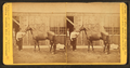 Groom and horse, from Robert N. Dennis collection of stereoscopic views.png