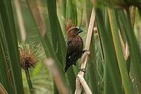 Grosbeak Weaver (Amblyospiza albifrons)