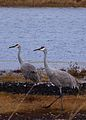 Grus canadensis -Michigan, USA -two-8.jpg