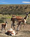 Guanaco herd near Torres del Paine National Park (5484366710).jpg