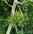 Gui sur un arbre.JPG