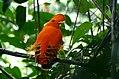 Guianan Cock-of-the-rock (Rupicola rupicola) (25401379418).jpg