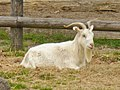 Gutshof Britz - Ziege (Goat) - geo.hlipp.de - 35518.jpg