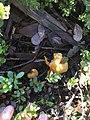 Gymnopilus sapineus 58778660.jpg