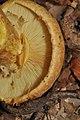 Gymnopilus validipes (Peck) Hesler 299027.jpg