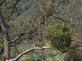 H20130318-6911—Phoradendron serotinum ssp tomentosum—Mitchell Canyon (8576315598).jpg